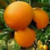 General Red Newhall Navel Orange