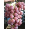 Buy red globe grape