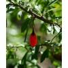 Organic Wolfberry