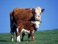 Russia lifts British Columbia cattle ban