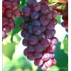 Chinese red grape