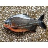 Frozen Red Pomfret Fish / Red Pacu