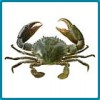 Green Mud Crab