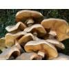 Armillaria mellea,honey mushroom