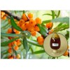Organic Sea Buckthorn Fruit Oil with high content of OMEGA-7