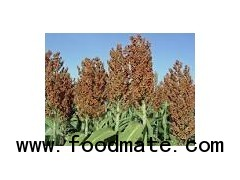 Sorghum from India