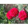 High quality natural plant extract Rose Extract
