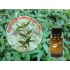 Vietnamese Coriander Essential Oil