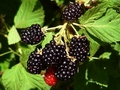 Blackberry juice effective as antimicrobial and preservative