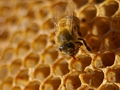 Bees a key contributor to food security: study