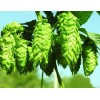 Hops Flower Extract Powder