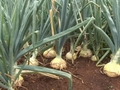Tasmania expects good onion season