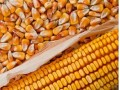 Argentina's 2014 Maize Production Estimated Above Average