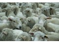 Non-EU sheep meat exports hit record high