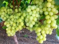 Israeli grape shipments to peak next week