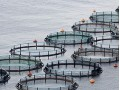 Chilean Salmon Industry to Generate 8000 New Jobs in the Next Few Years