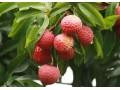 Vietnam seeks to boost litchi export to China
