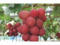 Japanese grapes smash price record