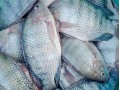 Northern Chef First to Offer ASC Certified Tilapia in US