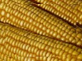 South Africa Yellow Corn Drops to Three-Year Low in Johannesburg