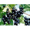 Black Currant extract 20% Anthocyanins