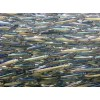 Dried Salted Anchovy Fillets for sale