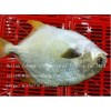 FROZEN GOLDEN POMPANO FISH