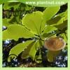 Magnolia Bark Extract,cin Magnolia Bark Extract
