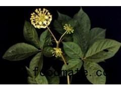 Siberian Gingseng Extract Eleutherosides