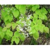 Epimedium Herb Extract Icariin