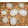 Chicken Broiler Hatching(Ross/Cobb) Grade A
