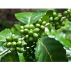 GREEN COFFEE BEAN EXTRACT ( CHLOROGENIC ACIDS 50-60% )