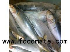 FROZEN SARDINE FISH WHOLE ROUND
