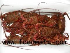 Live Spiny Lobster