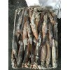 Frozen illex squid for fishing bait