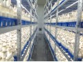 Stable export market for edible mushrooms in China